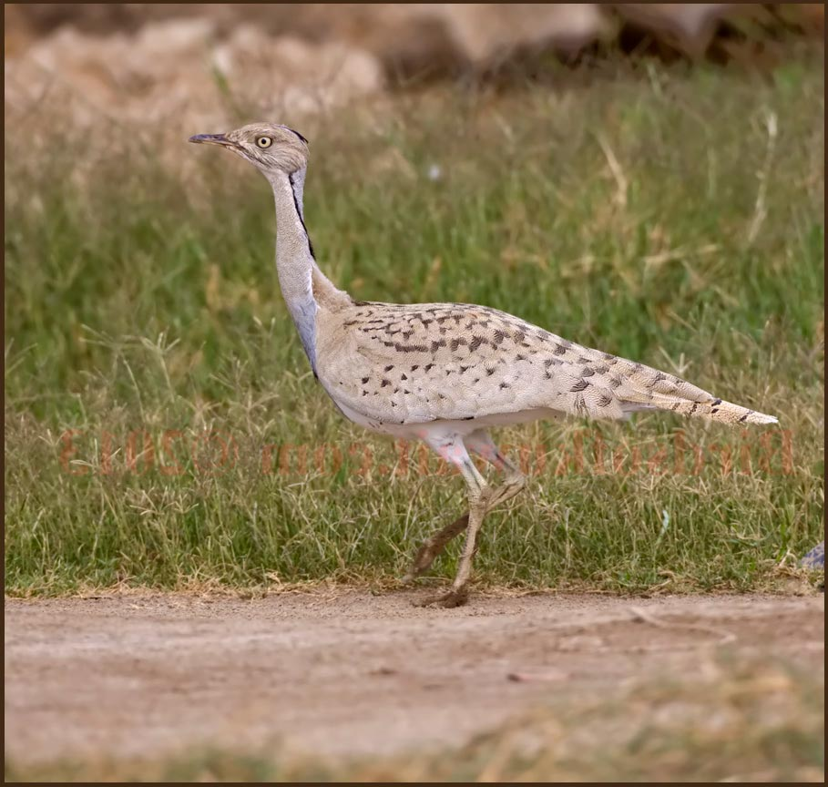 Macqueen's Bustard perching on ground on