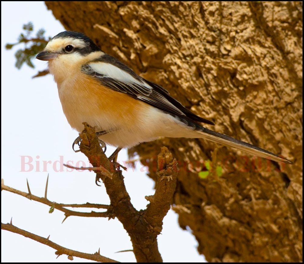 A nice male Masked Shrike perching on a branch