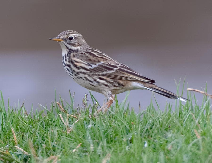Meadow Pipit standing on green grass