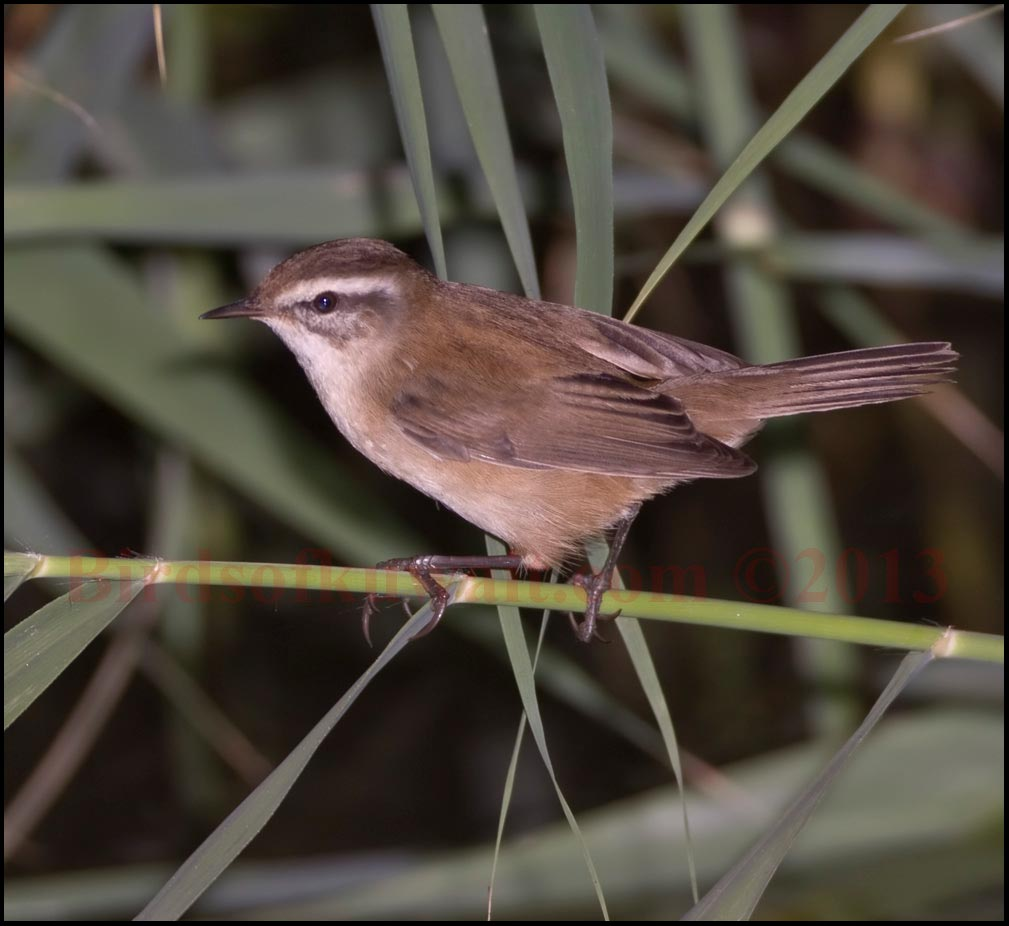 Moustached Warbler on a branch