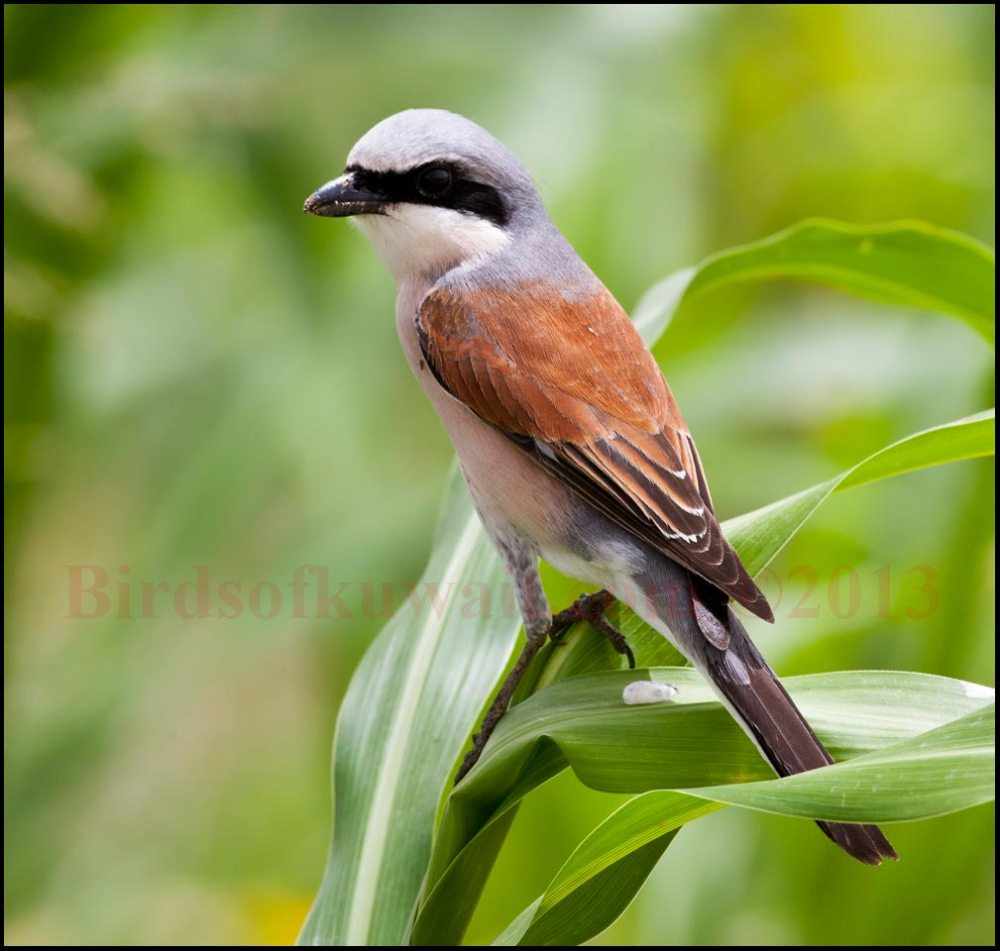 Red-backed Shrike perching of maize leaves