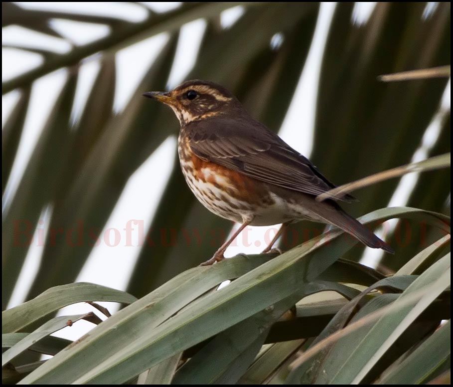 Redwing perching on date palm leaves
