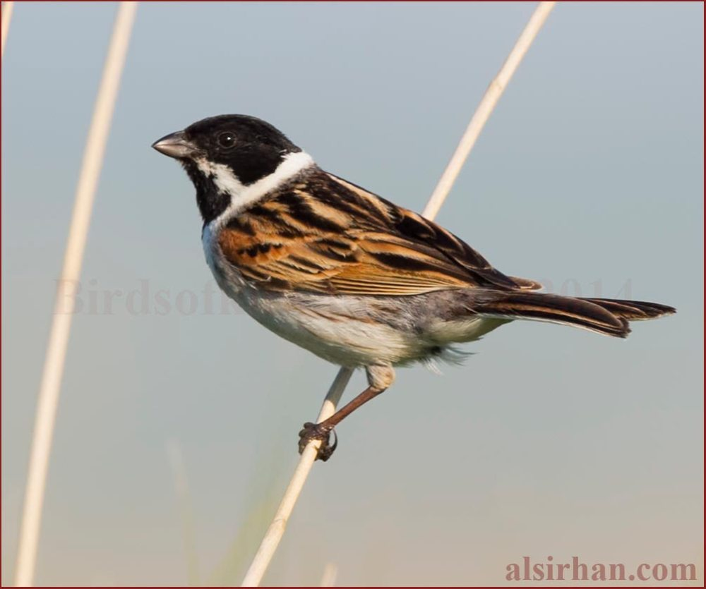 Common Reed Bunting perching on reed stem