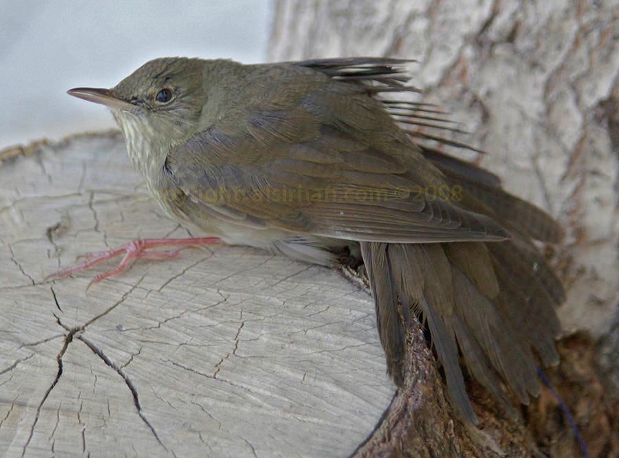 A River Warbler sitting on a log