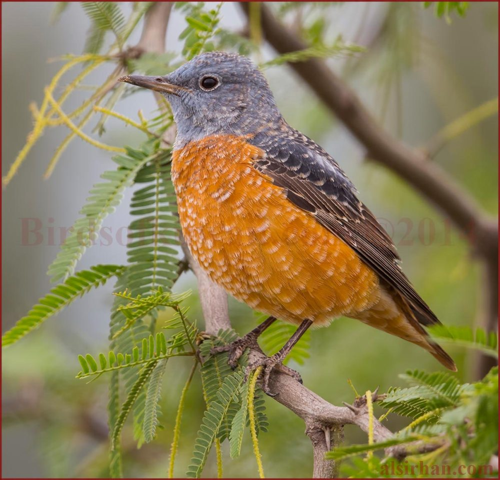 Common Rock Thrush perching on a branch