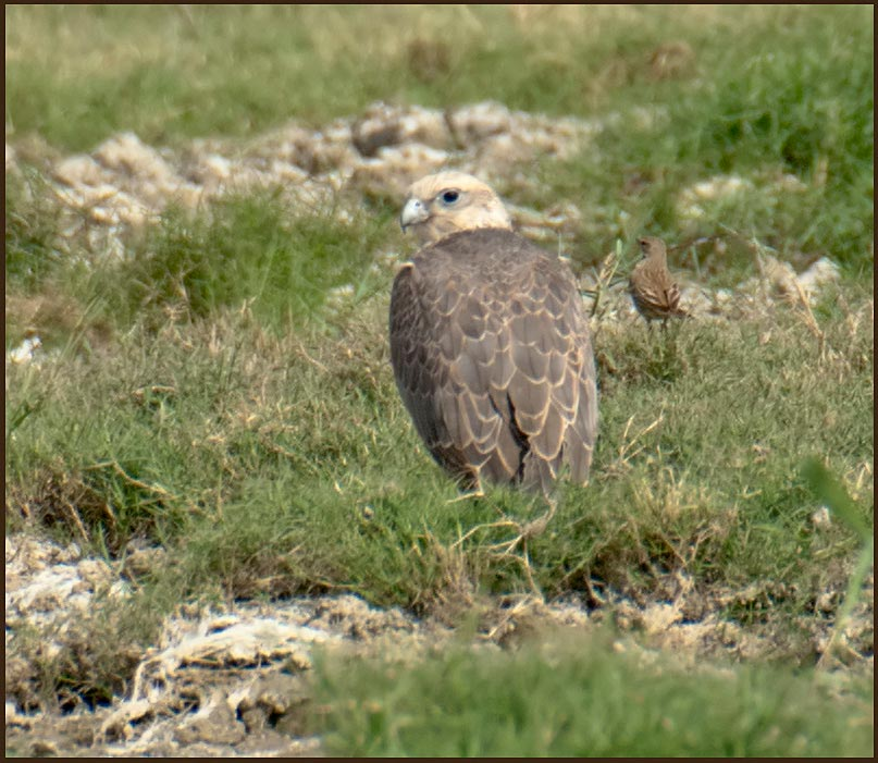 Saker Falcon sitting on the ground