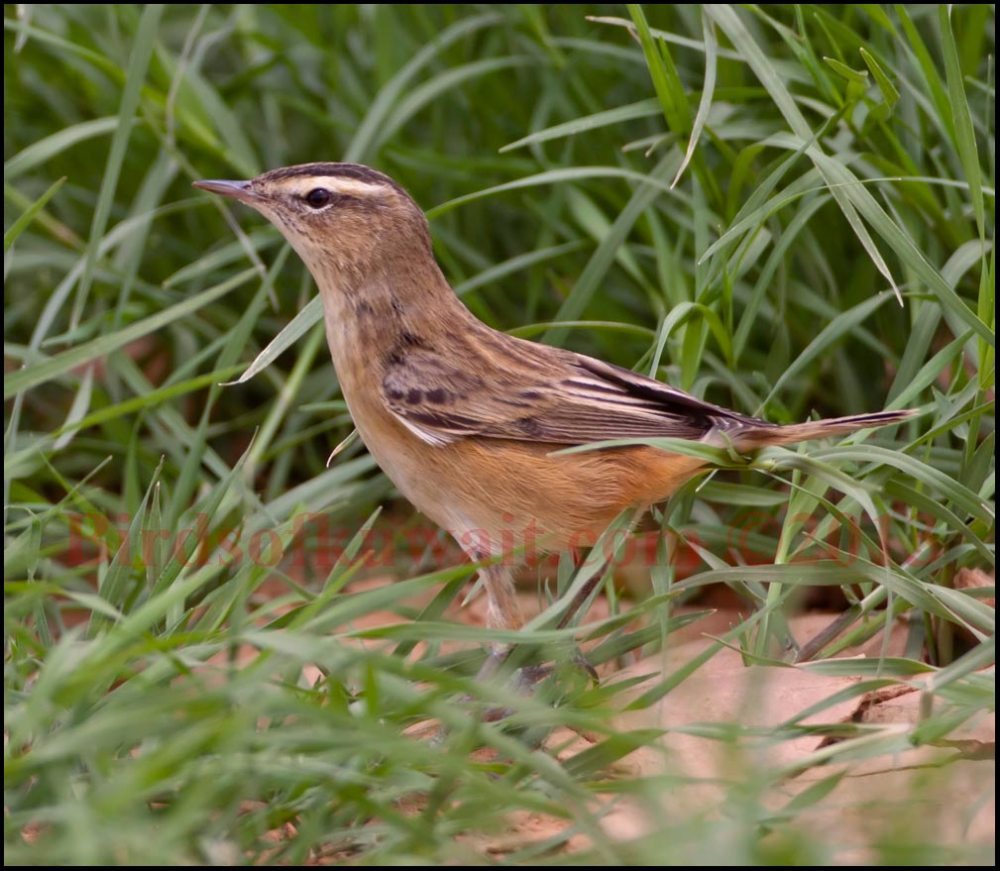 Sedge Warbler surrounded by grass