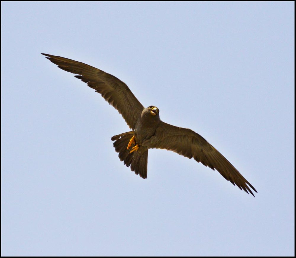 Sooty Falcon in flight