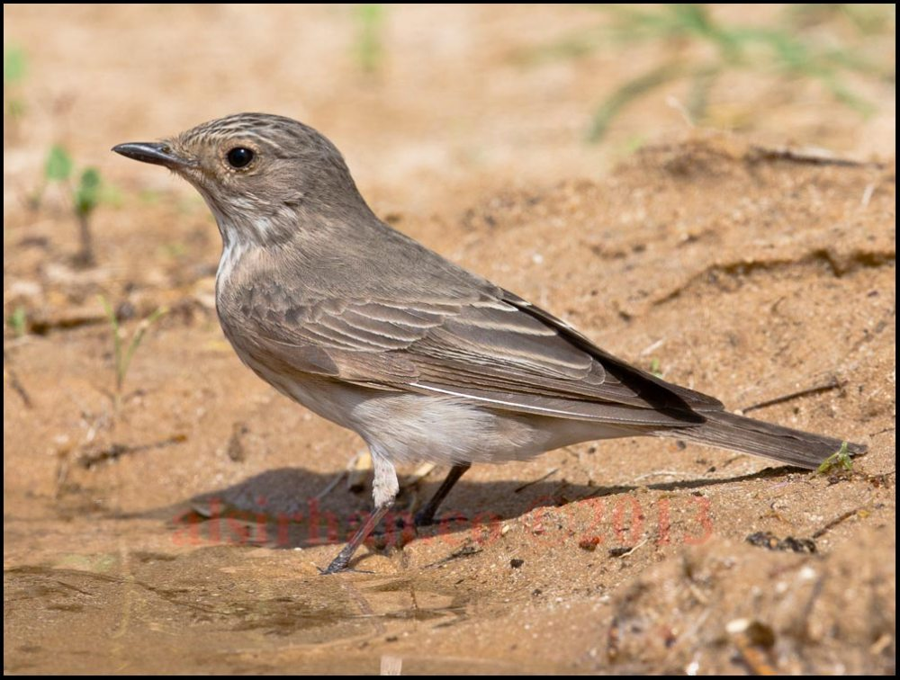 A Spotted Flycatcher standing at the edge of water waiting to drink
