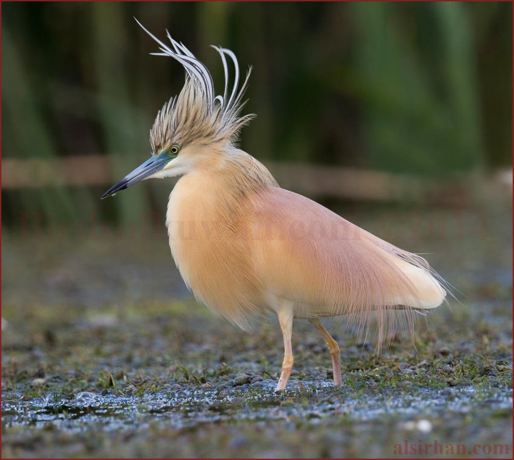 A magnificent looking male Squacco Heron walking in a muddy lake