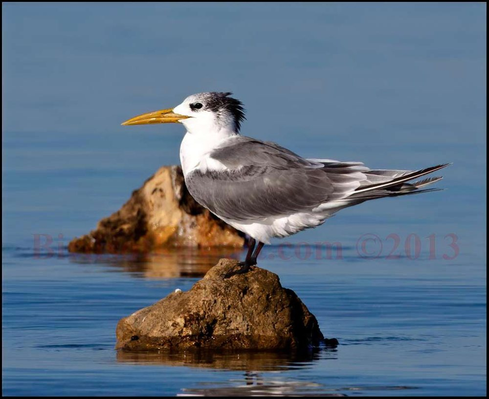 Greater Crested Tern on a rock in the sea