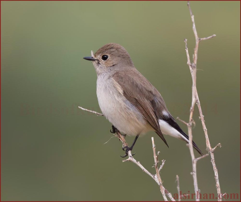 Taiga Flycatcher perching on a twig
