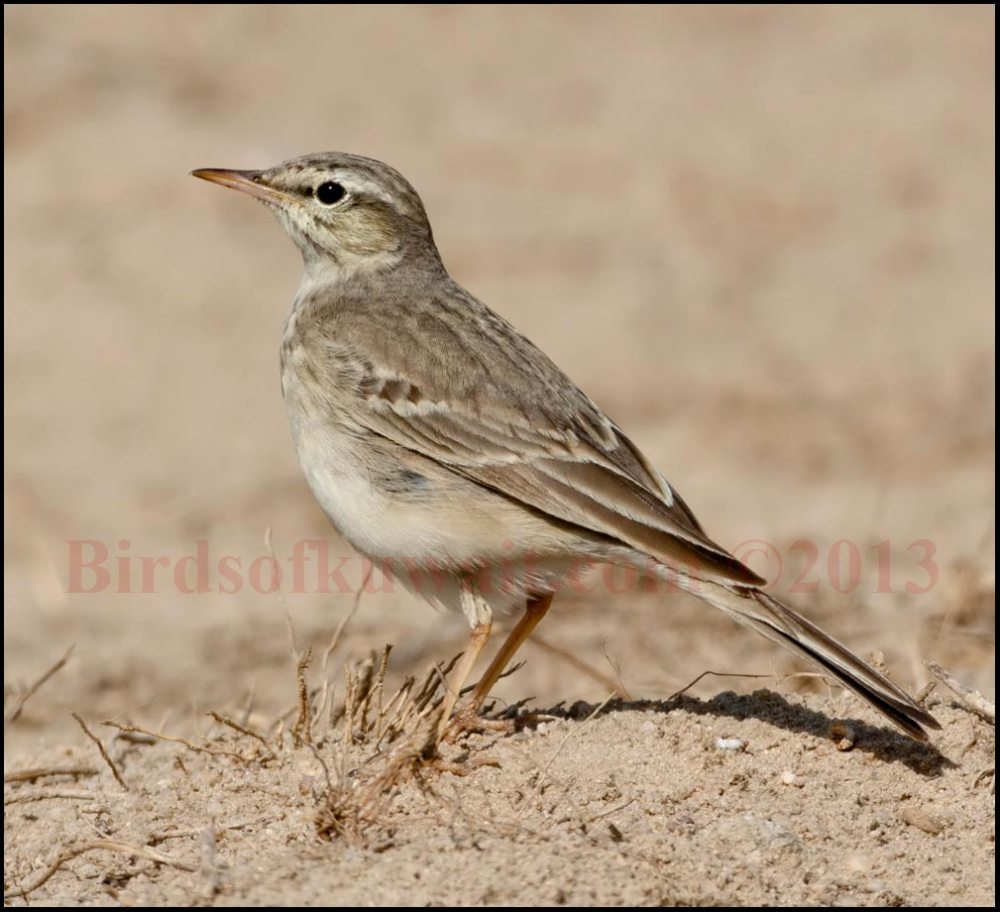 Tawny Pipit standing on ground