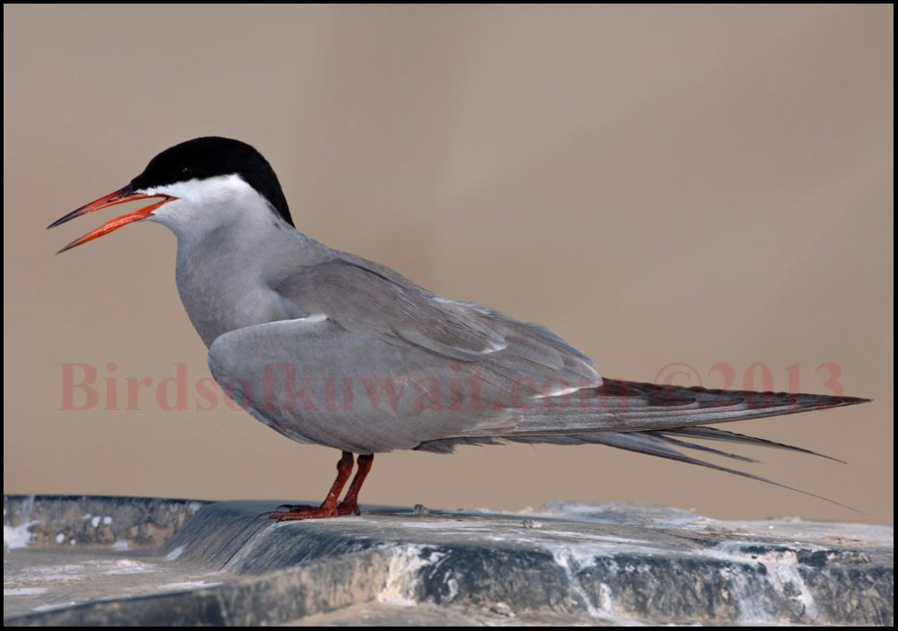 White-cheeked Tern perching on a dustbin