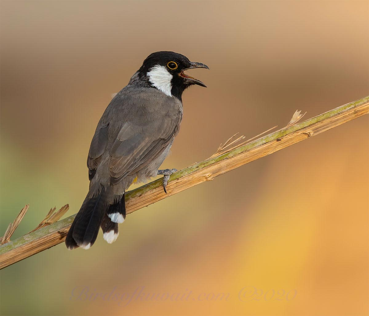 A White-eared Bulbul perching on a tree