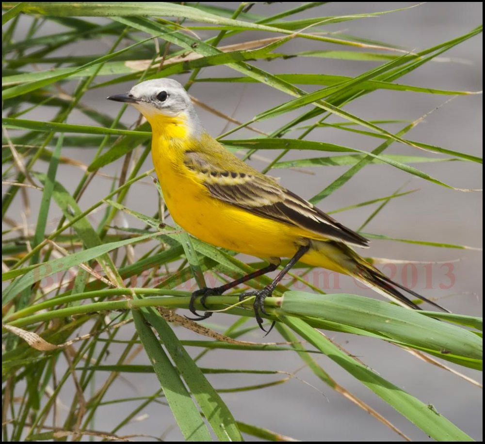 A nice looking White-headed Wagtail perched on grass stem