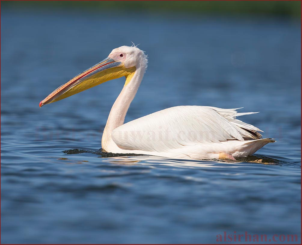 A Great White Pelican swimming on the sea