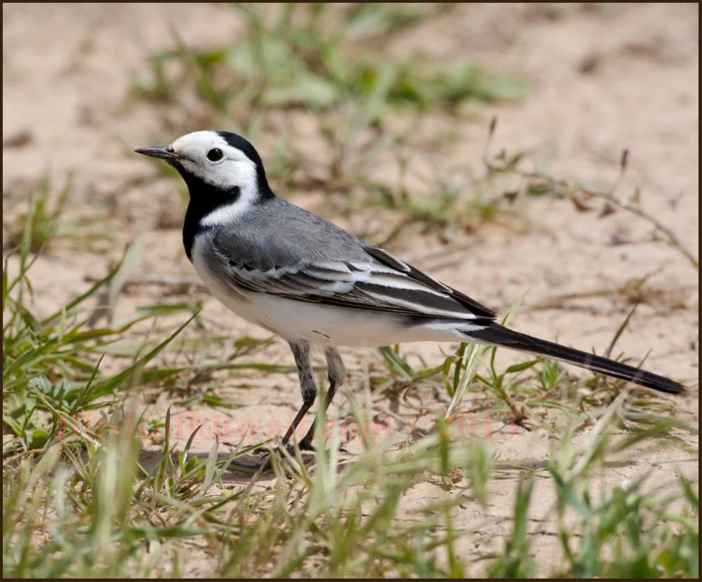 White Wagtail standing on the ground