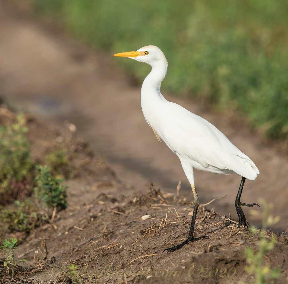 Western Cattle Egret on ground