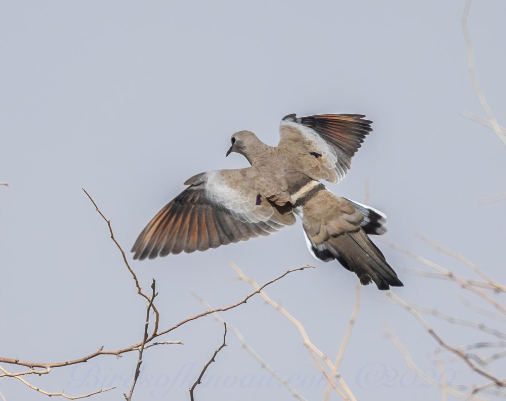 A Namaqua Dove landing on dry branches showing its fanned tail and red wings