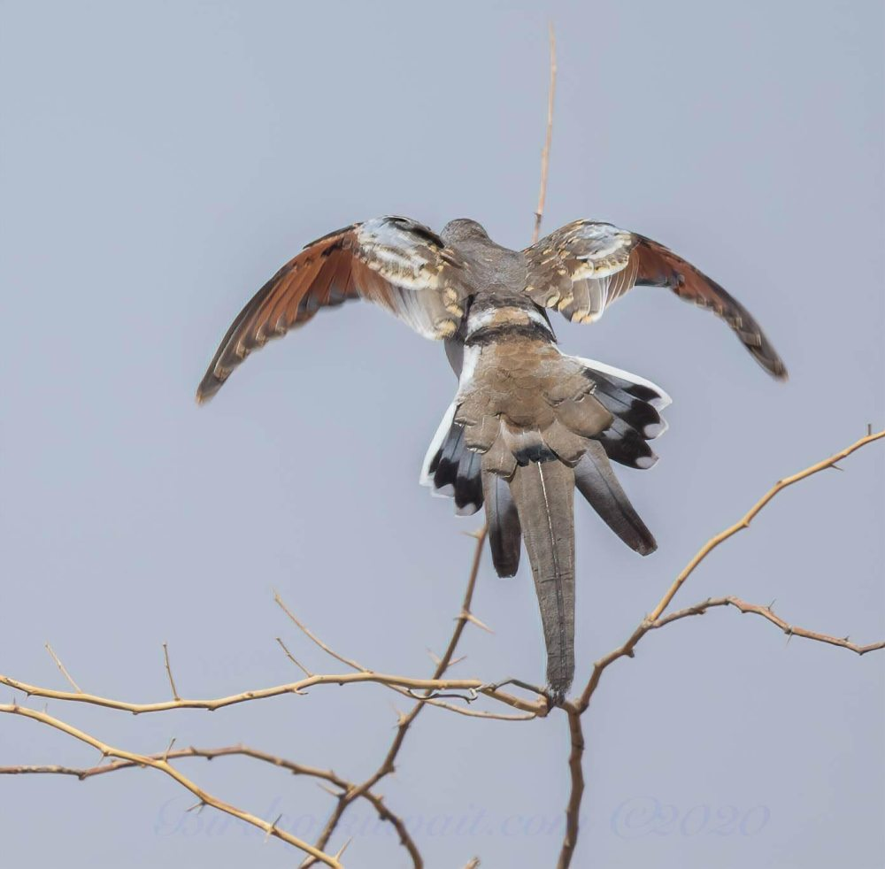 A Namaqua Dove landing showing its red flight feathers and long central tail feather
