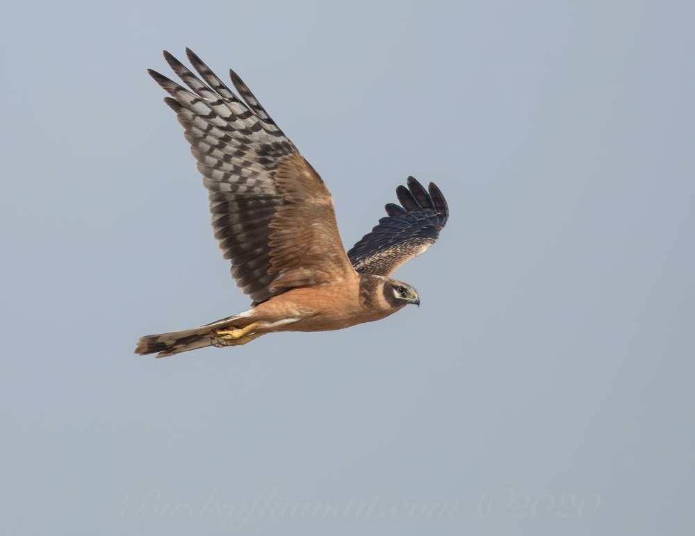 Pallid Harrier in flight