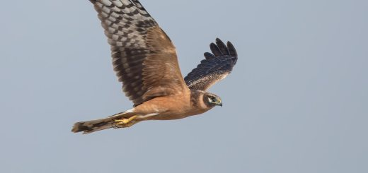 Pallid Harrier in flight