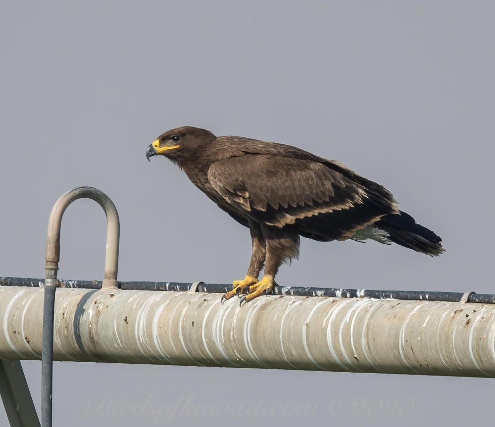 Steppe Eagle perching on a steel pipe
