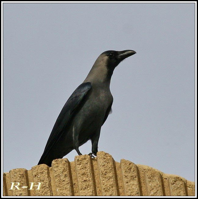 House Crow on top of a building