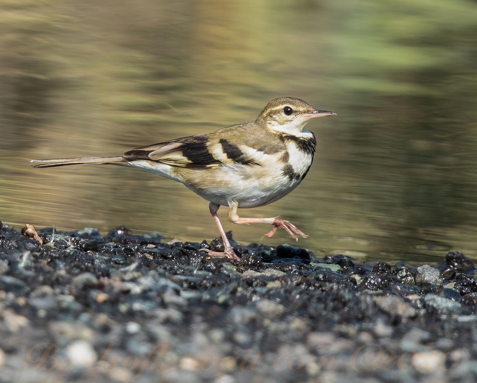 Forest Wagtail running along a track close to running water