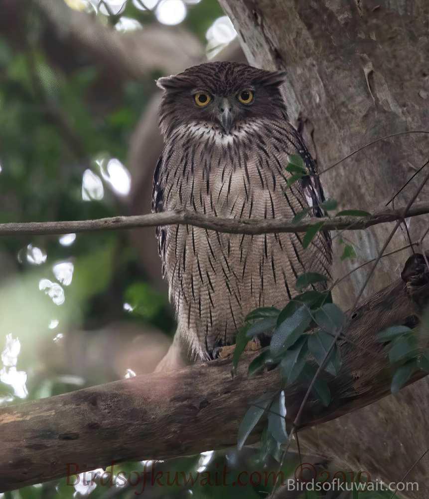 Brown Fish-Owl Ketupa zeylonensis