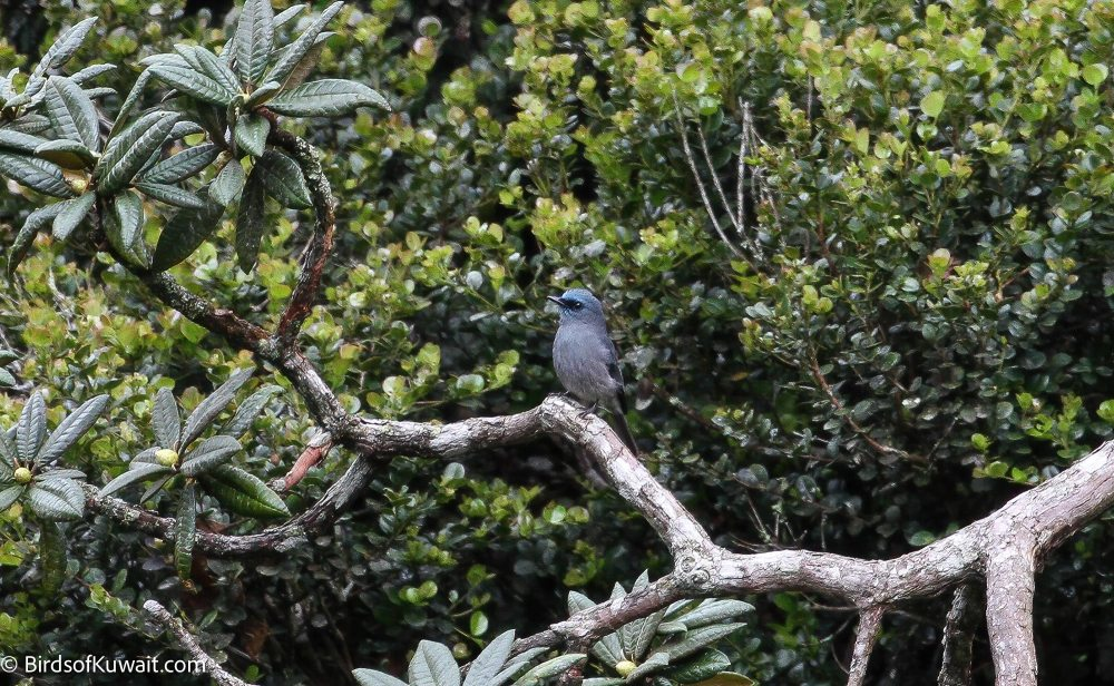 Dull-blue Flycatcher Eumyias sordidus