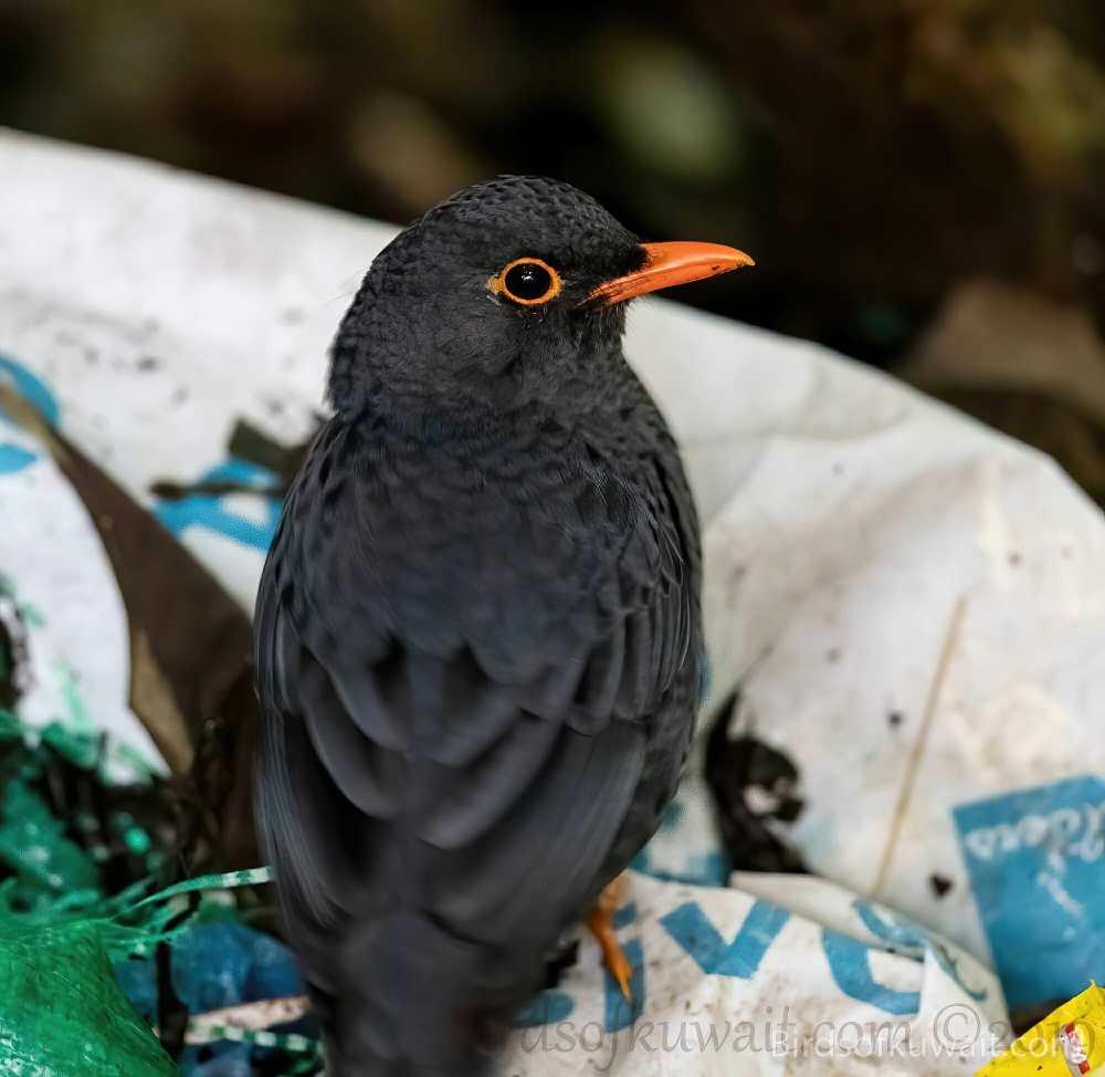 Indian Blackbird Turdus simillimus