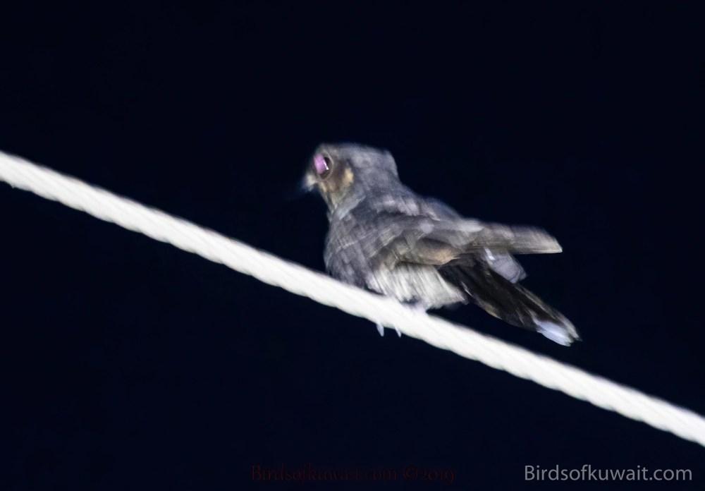 Indian Nightjar Caprimulgus asiaticus
