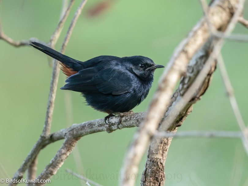 Indian Robin  on a branch
