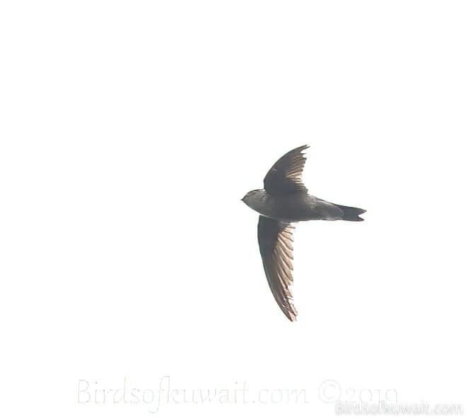 Indian Swiftlet Aerodramus unicolor