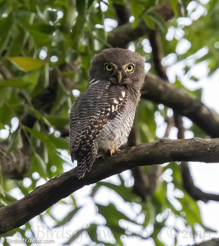 Jungle Owlet Glaucidium radiatum
