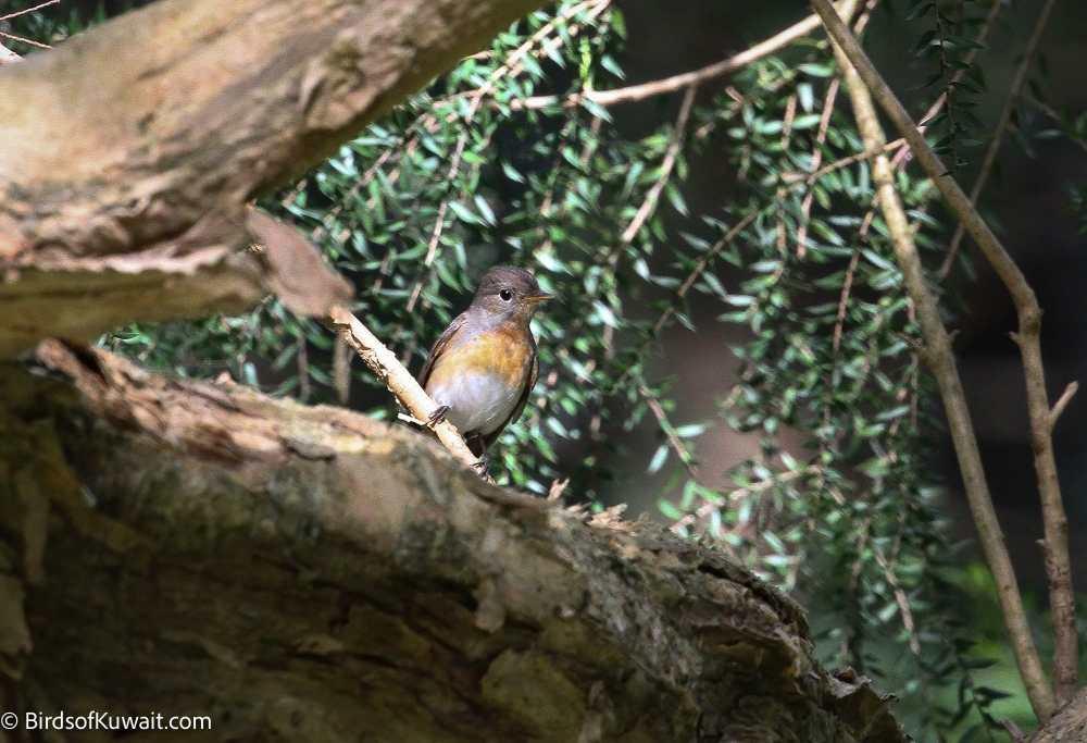 Kashmir Flycatcher Ficedula subrubra