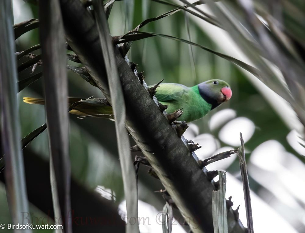Layard's Parakeet  perched on a tree