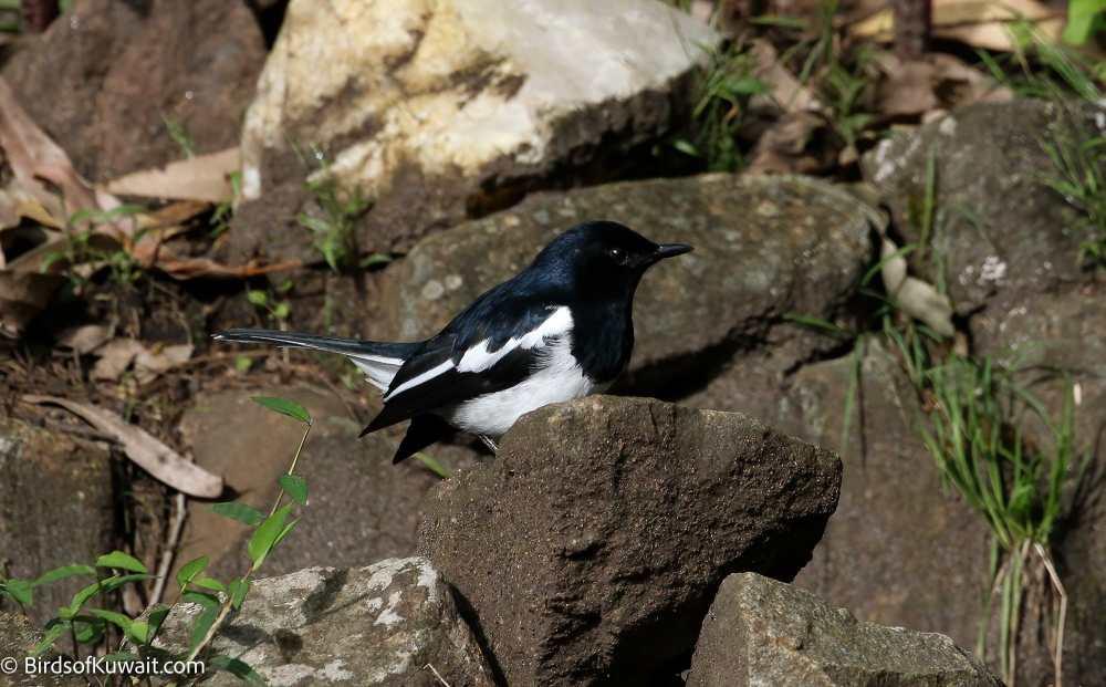 Oriental Magpie-Robin Copsychus saularis