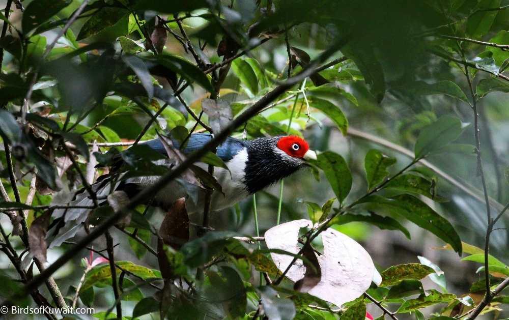 Red-faced Malkoha Phaenicophaeus pyrrhocephalus