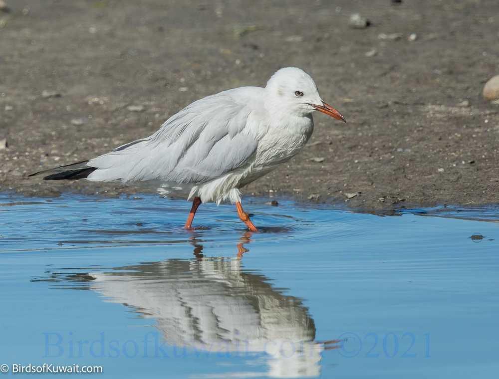 Slender-billed Gull Chroicocephalus genei  feeding in water