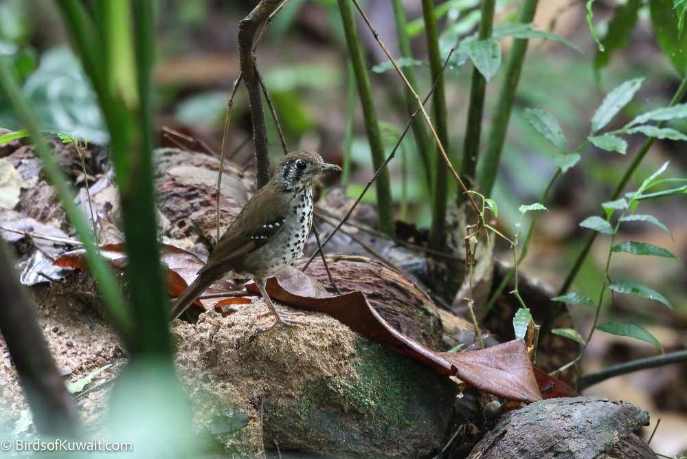 Spot-winged Thrush Geokichla spiloptera