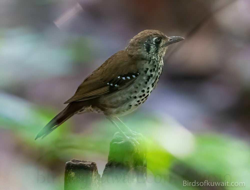 Spot-winged Thrush  on a log