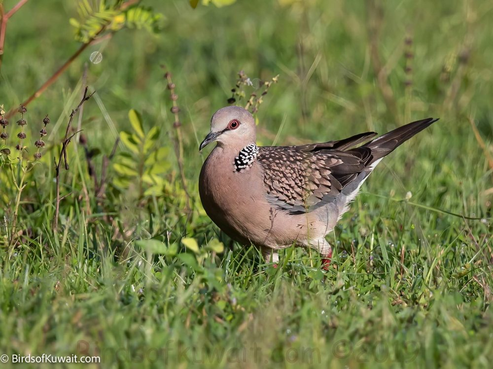 Spotted Dove Streptopelia chinensis