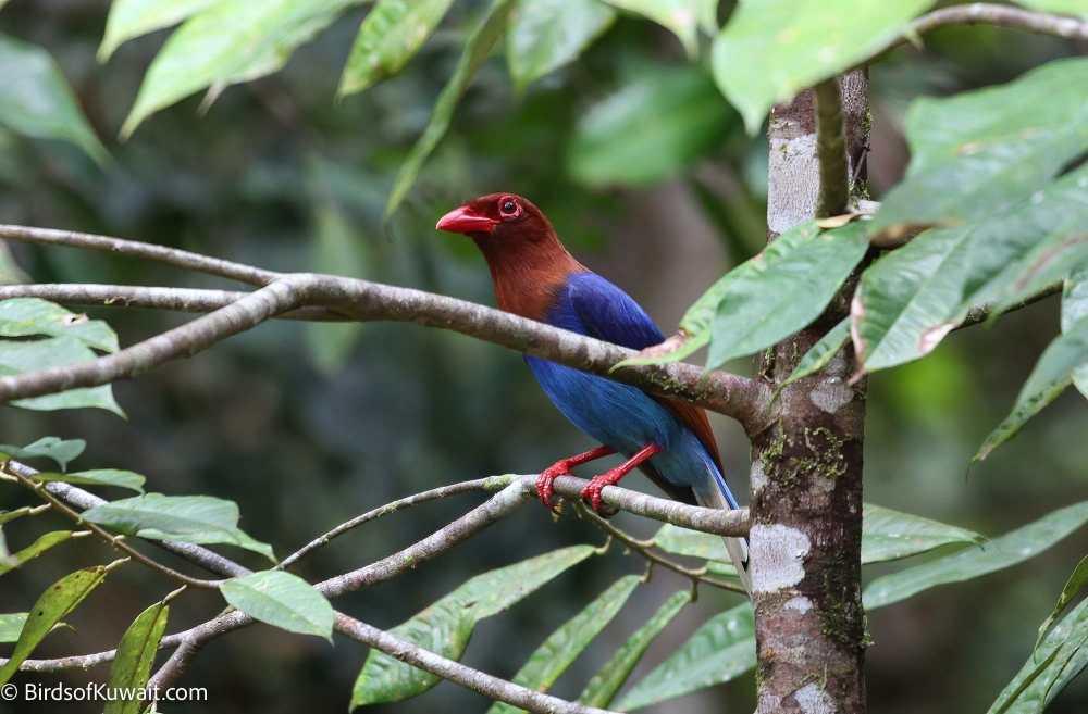 Sri Lanka Blue-Magpie Urocissa ornata