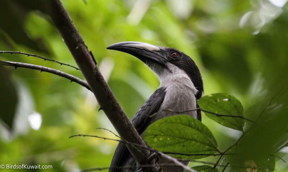 Sri Lanka Grey Hornbill Ocyceros gingalensis