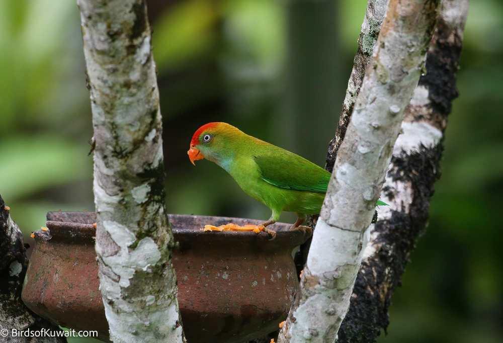 Sri Lanka Hanging-Parrot Loriculus beryllinus