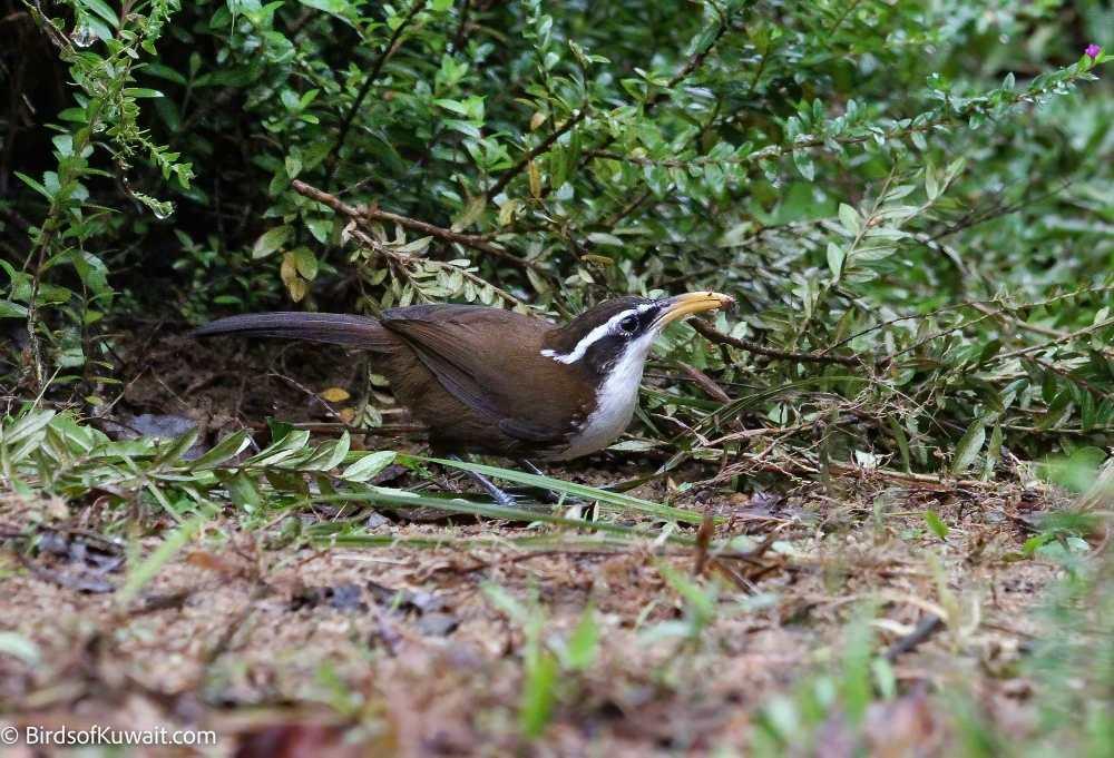 Sri Lanka Scimitar-Babbler Pomatorhinus melanurus