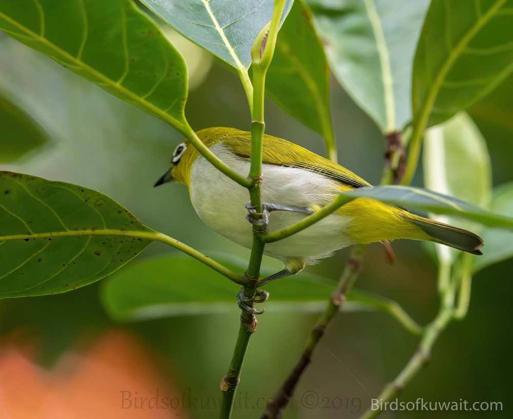 Sri Lanka White-eye Zosterops ceylonensis